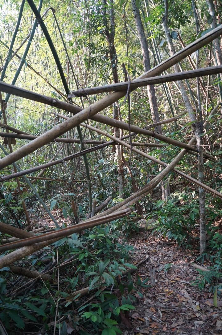 Entangled bamboos